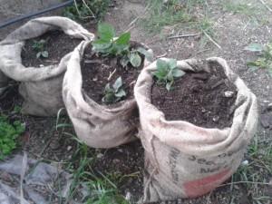 patate cresciute