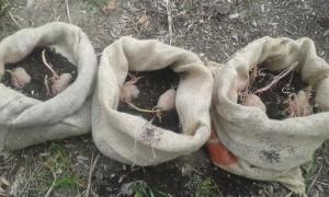 patate piantate