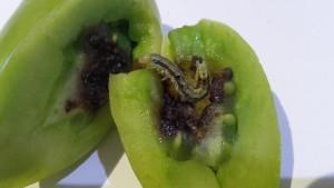 pomodoro con heliothis