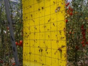 trappola cromotropica gialla