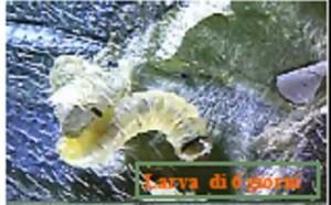 tuta larva