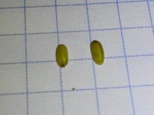 mosca olivo pupe