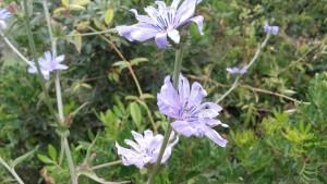 cicoria fiore