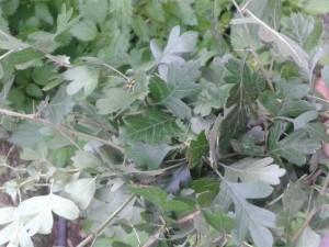 biancospino foglie