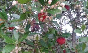 corbezzolo frutto e fiori