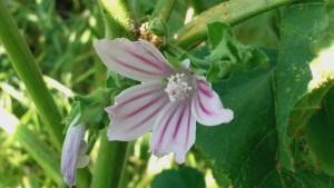 malva fiore