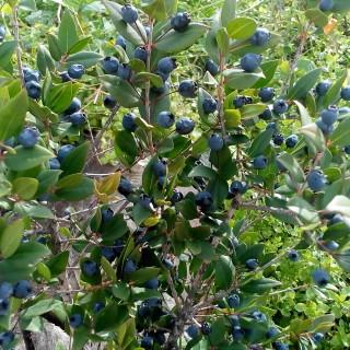 Mirto con frutto maturo