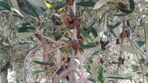 olivo cancro rameale 1