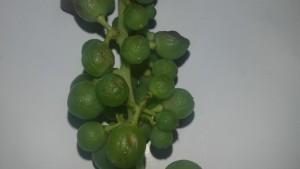 mal dell'esca uva ing.