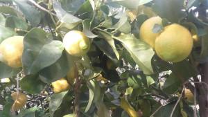limoni quattro stagioni