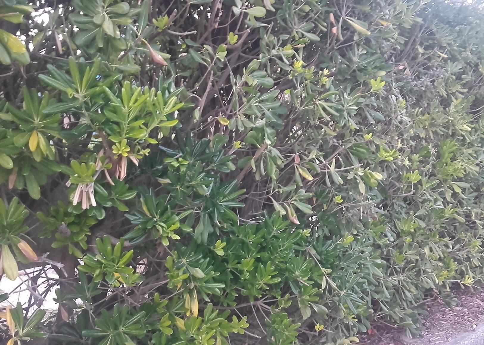 Pitosforo pianta marina for Pitosforo siepe