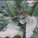 romice pianta