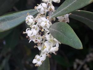 fiori di olivo