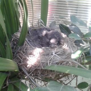 merli nel nido