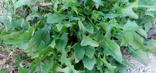 cicoria selvatica