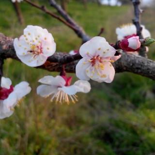 albicocco fiori