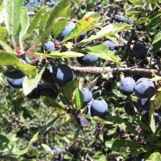 prugnolo frutto