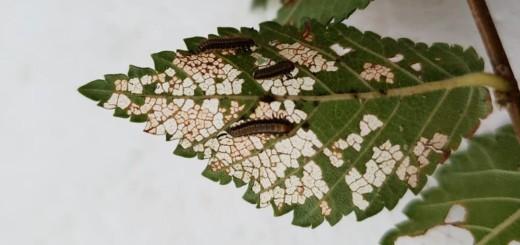danno su foglie di olmo  da galerucella.