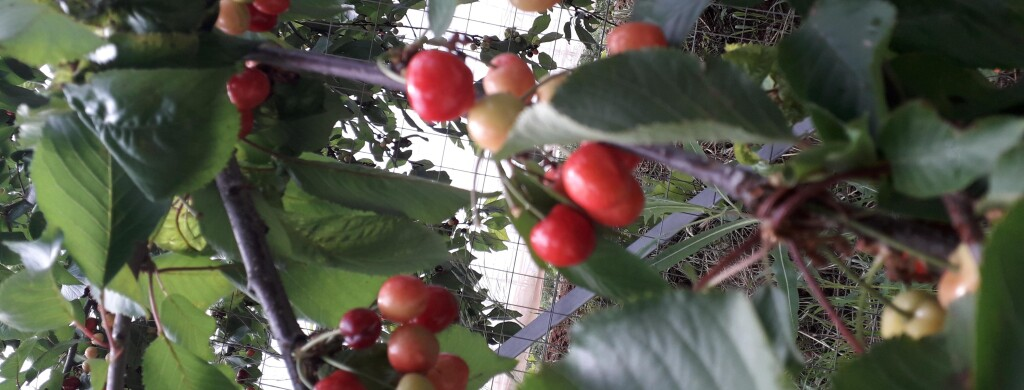 ciliege frutto