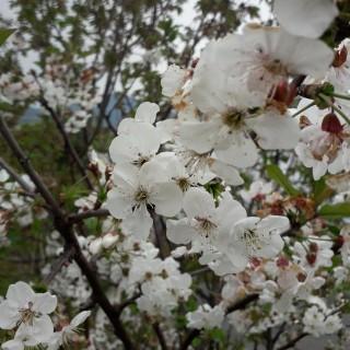 fiori di ciligio