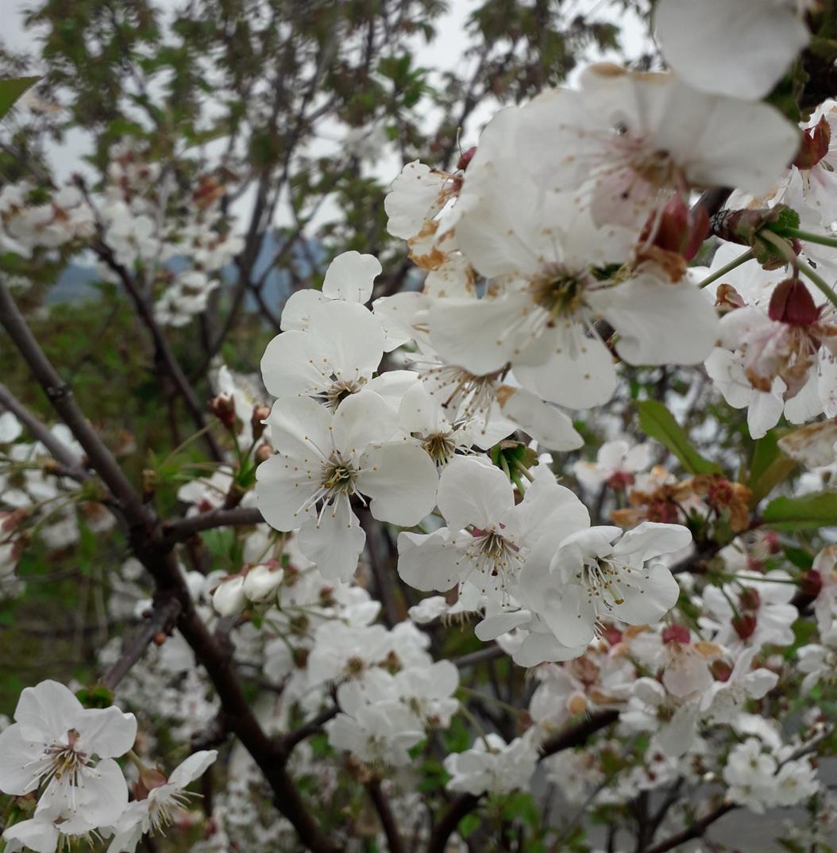 Avversità Delle Piante Coltivate ciliegio, storia e avversità | coltivafacile.it